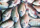 tilapia worse than bacon e1536571103780 140x97 - فرصتسوزی در تولید تیلاپیا به نابودی محیط زیست منجر میشود