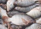 716834 2 140x97 - موافقت کارشناسان و مسئولین با تولید داخلی ماهی تیلاپیا بعد از ممنوعیت واردات