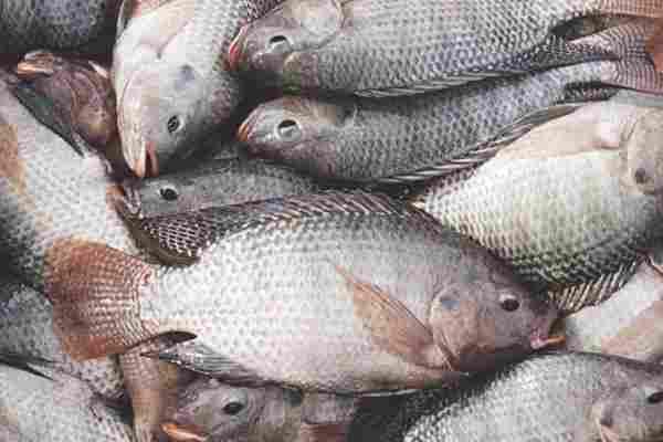716834 2 - موافقت کارشناسان و مسئولین با تولید داخلی ماهی تیلاپیا بعد از ممنوعیت واردات