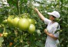 RussiaTomato 140x97 - ممنوعیت واردات در روسیه به تقویت تولید محصولات کشاورزی منجر شد