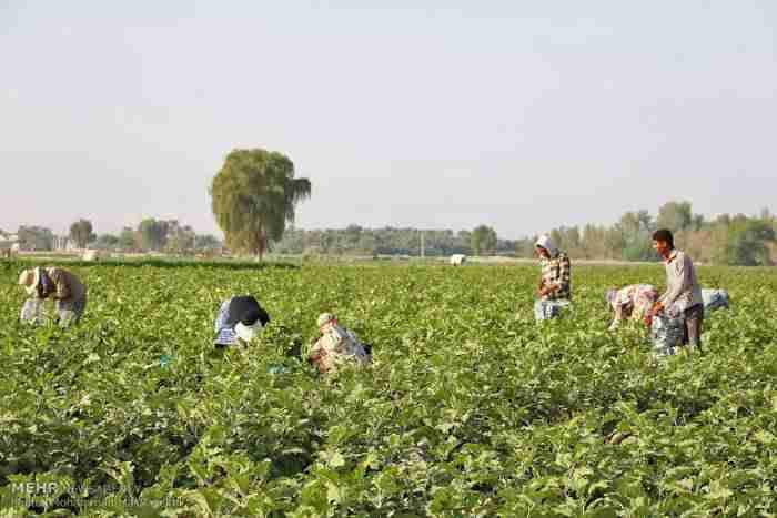 1896259 - 69 هزار شغل سهم بخش کشاورزی از بسته اشتغال فراگیر دولت
