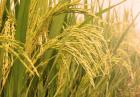 هدف گذاری تولید گندم کمیته ملی کشاورزی پاکستان 140x97 - قیمت خرید تضمینی گندم در پاکستان 82 درصد بیشتر از قیمت جهانی است