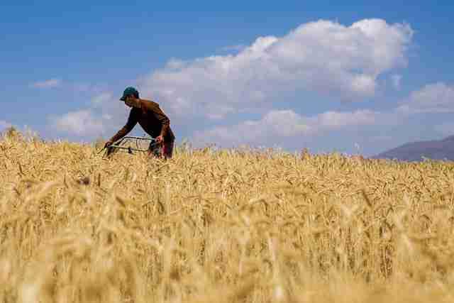 6680844 353 - خوزستان قطب تولید گندم دیم در کشور است