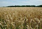تعرفه واردات گندم هند دو برابر شد 140x97 - هند در آستانه شروع فصل زراعت تعرفه واردات گندم را 2 برابر کرد