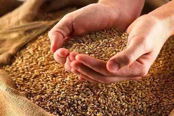 گندم تولید داخل اقتصاد مقاومتی با کیفیت - ارزیابیهای علمی کیفیت گندم تولید داخل را تایید میکند