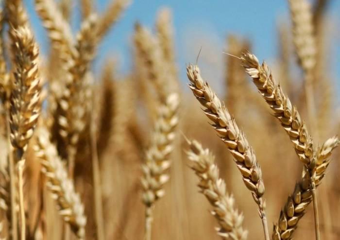 صادرات گندم پاکستان اقتصاد مقاومتی خرید تضمینی گندم