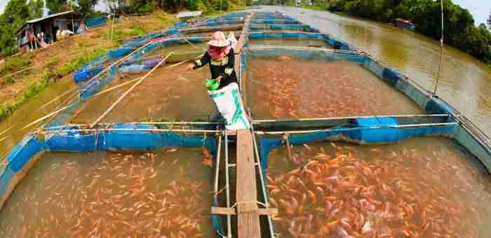 shutterstock 69539743 - رونق تولید و مصرف ماهی پرطرفدار تیلاپیا در جهان از آمریکا تا آسیا