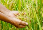وازرت کشاورزی مالزی 140x97 - وزارت کشاورزی مالزی متولی اصلی تولید و بازرگانی محصولات کشاورزی
