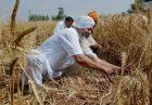 429497 wheat 140x97 - افزایش نرخ خرید تضمینی گندم برای تامین امنیت غذایی در هند