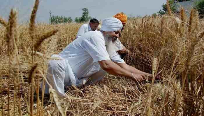 429497 wheat - افزایش نرخ خرید تضمینی گندم برای تامین امنیت غذایی در هند
