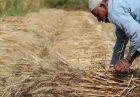 تولید گندم مصر با حمایت دولت اقتصاد مقاومتی خرید تضمینی گندم