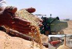 گندم 1 140x97 - واریز باقیمانده مطالبات گندم کاران به حساب شرکت بازرگانی دولتی ایران
