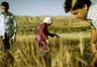 افزایش قیمت گندم در عراق اقتصاد مقاومتی