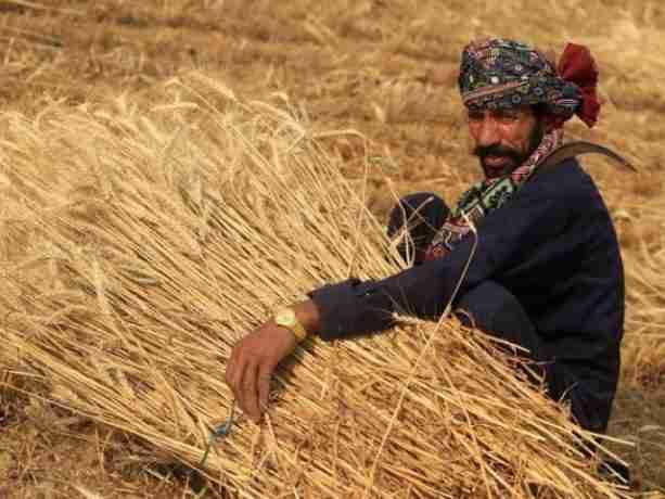 افزایش قیمت هر کیلوگرم گندم در پاکستان