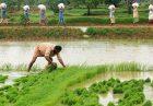 حمایت از کشاورزی هند