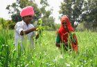 حمایت از تولید دانه های روغنی در هند اقتصاد مقاومتی