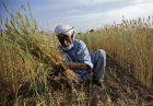 کمبود گندم در پاکستان ضد اقتصاد مقاومتی
