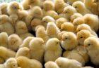 عدم مدیریت بازار مرغ و معدوم سازی جوجه های یکروزه ضد اقتصاد مقاومتی