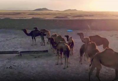 تولید شتر با کشت دیم در استان مرکزی