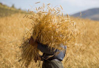 کاهش سطح زیر کشت گندم آبی ضد اقتصاد مقاومتی