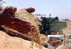 قیمت خرید تضمینی محصولات اساسی کشاورزی و گندم اقتصاد مقاومتی